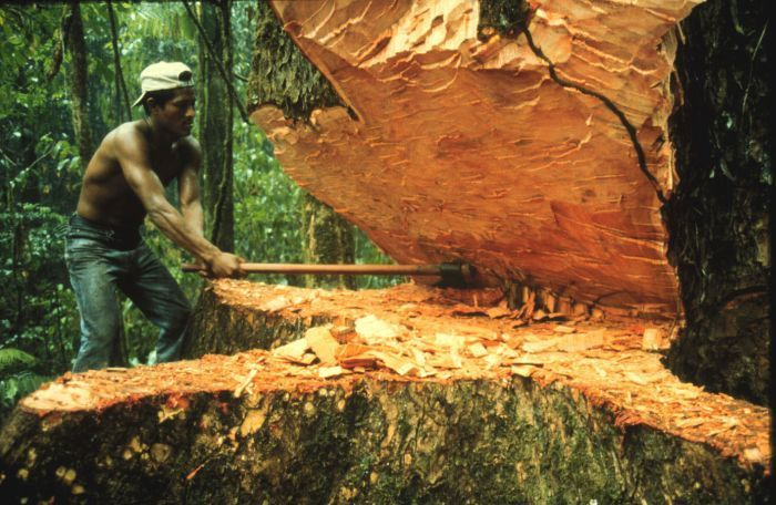заготовка красного дерева