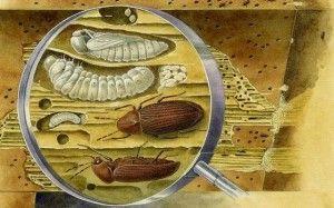 насекомые-древоточцы